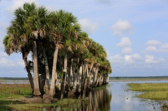 Palmen über Palmen, St. John's River, FL.