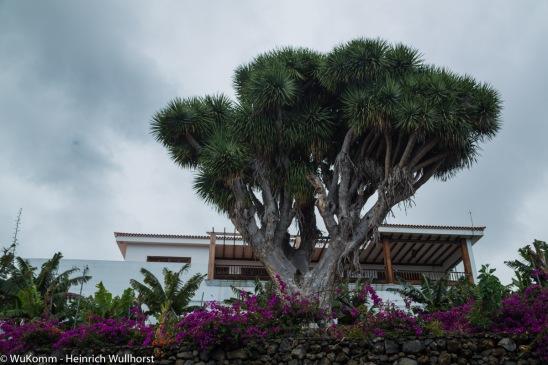 Drachenbaum.