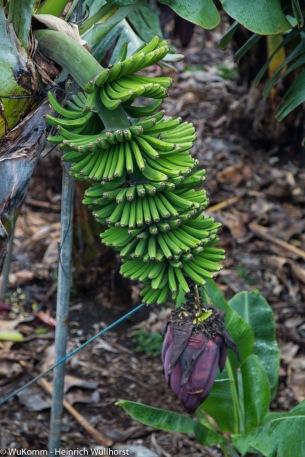 Bananenstaude.